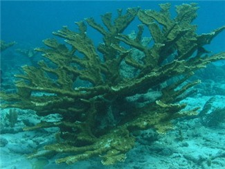 Sandy Cay Reef has an abundance of Elkhorn Coral.