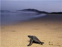 Giant Leatherback Turtle Nesting Safari - Tourist Attraction in Playa Grande