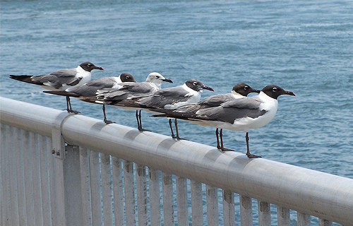 "My six ""Gull Friends"""