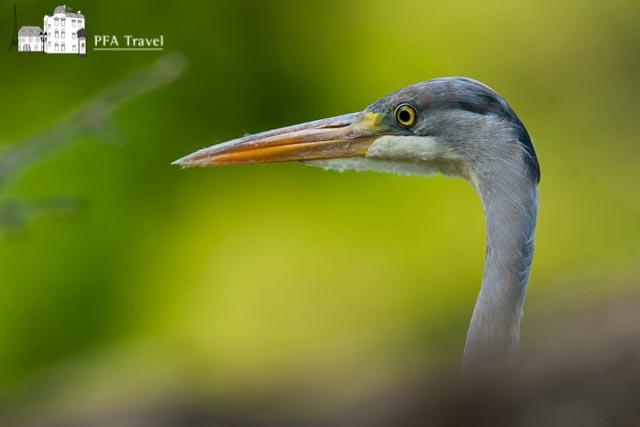 Heron in Loire Valley