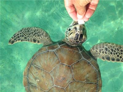 Turtles on Coco Bay