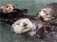 Sea Otters Playing at the Aquarium