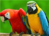 Multicolored Parrots