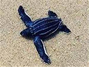 Baby leatherback